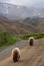Denali Grizzly Bear Photos