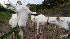A Japanese condominium ditches lawnmowers for grass-munching goats! Look at these goats in their element!