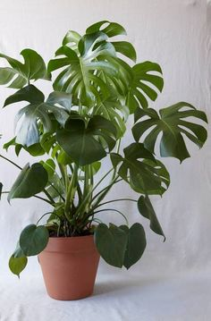 keep your monstera alive ! Monstera plant care is less complicated than you'd think. Here, the experts share their top tips. Monstera Deliciosa, Plante Monstera, Balcony Plants, House Plants Decor, Garden Plants, Potted Plants, Tall Indoor Plants, Hanging Plants, Leafy Plants