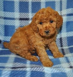 toy-poodle-puppy-for-sale-in-pa-blessing.jpg