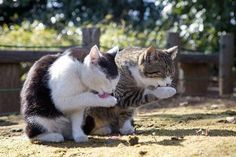 Double Action: Copycats In Purrfect Synchronization Pics) - World's largest collection of cat memes and other animals Kittens Cutest, Cats And Kittens, Cute Cats, Funny Cats, Funny Animals, Cute Animals, Party Animals, Crazy Cat Lady, Crazy Cats