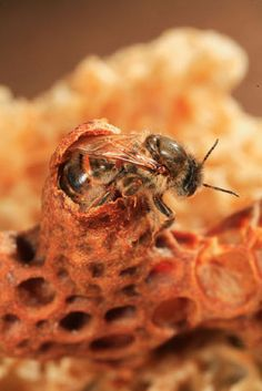 the birth of a queen bee