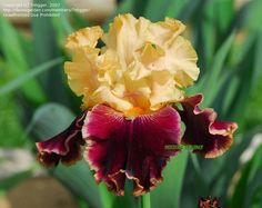 Full size picture of Tall Bearded Iris 'Mexican Holiday' (<i>Iris</i>)