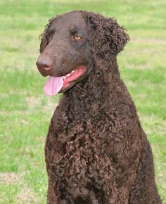 CURLY COATED RETRIEVER gorgeous dog