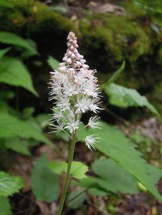 Tiarella cordifolia bloem