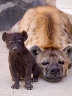 Hyenas  <3