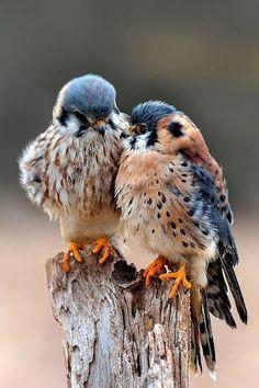 by naturesmoments. American Kestrel, birds of prey Pretty Birds, Love Birds, Beautiful Birds, Animals Beautiful, Birds 2, Birds Pics, Small Birds, Beautiful Couple, Beautiful Babies
