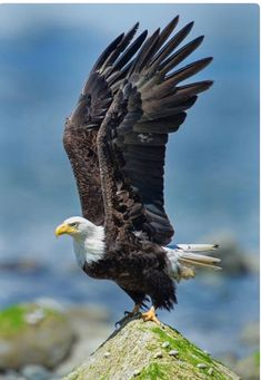 17 Ideas Bird Of Prey Raptors Nature Photo Aigle, Beautiful Birds, Animals Beautiful, Aigle Animal, Eagle Pictures, Wings Like Eagles, Eagle Wings, Eagle Bird, Big Bird