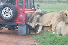 Leones atacando la rueda de un Land Rover