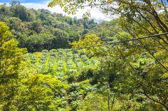 first cable going over a palm tree farm osa palmas canopy tour   Las Palmas, near Puerto Jimenez Osa Peninsula #fun #zipline #costarica