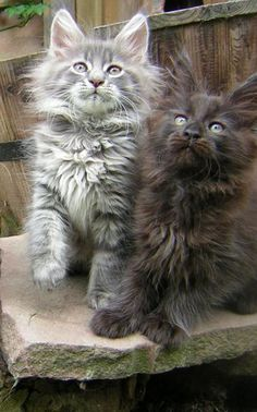 .Beautiful cats with long fur,must be angora,or Norweigen Forrest cats ,sooo beautiful. EW