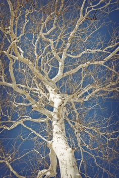 White Etchings on the Sky - the ghostly, beautiful living art of the American Sycamore Tree in Winter. Twisted Tree, Autumn Scenes, Winter Images, Unique Trees, Tree Forest, Tree Leaves, Winter Trees, Tree Art, Tree Of Life