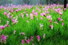 Pha Taem National Park flower fields | Site : http://www.tourismthailand.org/See-and-Do/Events-and-Festivals ...