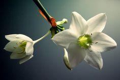 #flower #nature #plant #white