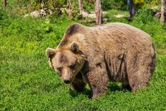Brown Bear Facts: Brown bears can outwit poachers and can run as fast as forty miles per hour. Find out more and 14 other brown bear facts. Wild Animals Attack, Animal Attack, Brown Bear Facts, Brown Bears, Le Grizzly, Bear Attack, National Animal, Dangerous Animals, We Bear