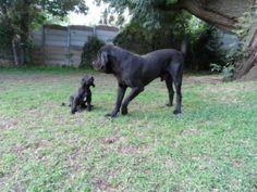Fila Brasilero & pup