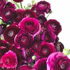 Gorgeous flowers with deepest wine-red petals. The flowers are big and uniform and there are plenty of them. Ranunculus, Elegant, Rose, Flowers, Plants, Bulbs, Farmer, Collection, Beautiful