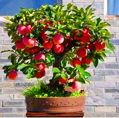 Trial product Bonsai Apple Tree Seeds 30 Pcs apple seeds (used wet sand sprouting )fruit bonsai garden in flower pots planters * Find out more on  AliExpress.com. Just click the image #GardenSupplies
