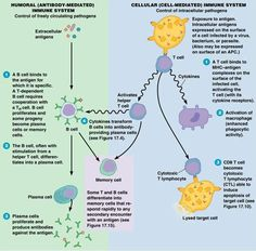 humoral and cell mediated immunity - Google Search