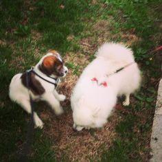 heididahlsveen:  Meeting Akia 3 year old #JapaneseSpitz #dog #hund