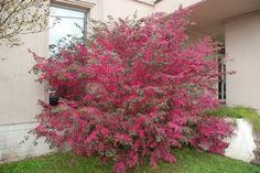 lorapetalum burgundy | Loropetalum chinensis rubrum 'Burgundy Blast' BURGUNDY BLAST ...