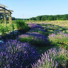 Cherry Point Farm & Market Lavender Labyrinth - Shelby, Michigan
