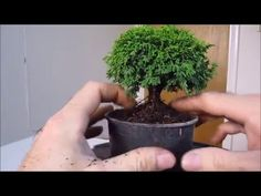 How To Make a Bonsai Tree From a Nursery Stock Tsu - YouTube