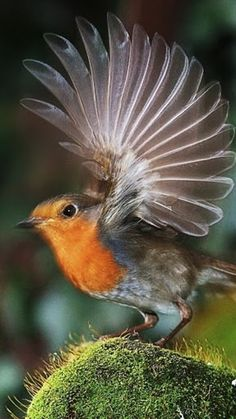 A beautiful landing ~. Fantastic !! Wings of a robin ! # birds #robin