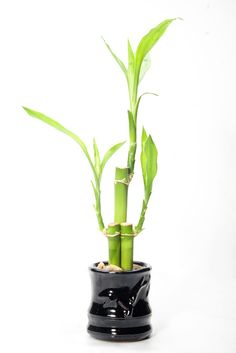 The Fortune Hall | The Gallery of Good Fortune and Wealth Attracting Forms and Figures: Lucky Bamboo: a plant with the color of the money it draws