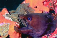 Coral reef pictures of Cozumel and Mexican caribbean    akumal-dive-20.jpg    A fearsome looking fish...