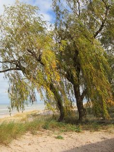 Fall Willow #1