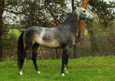 Buckskin Akhal Teke with very dark sooty markings.