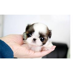 My Sis n law needs one of these LOL  Teacup Shih Tzu