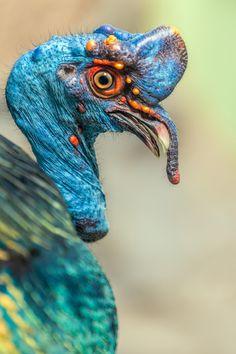 Ocellated Turkey