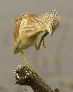 Squacco Heron. She looks like she needs a cup of coffee or something... is that an itch behind the ear...oh I mean hairdo~?~