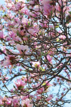 The prettiest spring tree!
