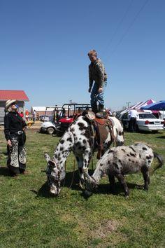 Mule Day 2013