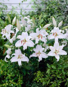 Oriental-lilja Mother´s Choice - Viherpeukalot
