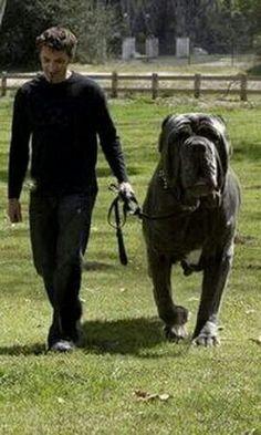 FᎧᎡ ᏟÜᎢЄ ! ! ! ✧ Neapolitan Mastiff & approx. 289 lbs