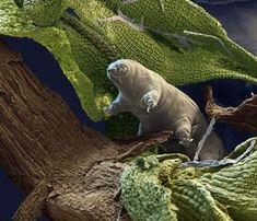 """También son conocidos como """"osos de agua"""".   17 cosas que prueban que los tardígrados básicamente son superhéroes"""