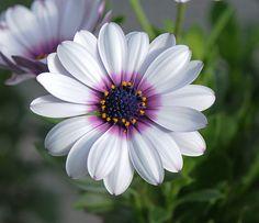 White Cape Daisy with Purple Center, 20 Flower Garden Seeds