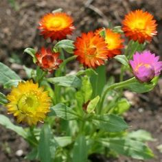 """350 Seeds, Strawflower """"Mixed Colors"""" (Xerochrysum bracteatum) Seeds By Seed Needs by Seed Needs: Flowers. $2.65. Grows to a mature height of about 3 feet tall. Easily established from seeds either indoors 6 to 8 weeks before the last frost, or directly out in the garden.. Prefers an area of full sunlight and average moisture daily. Easy planting instructions along with a colorful picture printed on each """"Seed Needs"""" packet!. Quality Strawflower seeds packaged by """"Seed Need..."""