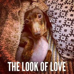 "Dachshund Quotes & Pictures (@mydachshundfamily) on Instagram: ""The look of love  .  @pop_sausage"""