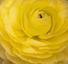 Rununculus in Yellow by be my butterfly, via Flickr