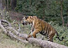 Located in Madhya Pradesh, Bandhavgarh National Park is said to have the maximum density of the tiger population. Gir Forest, Wildlife Of India, Jim Corbett National Park, Law Of The Jungle, Vacations To Go, Holiday Resort, If Rudyard Kipling, Types Of Animals, India Tour