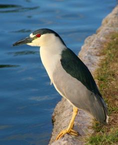 Black capped heron