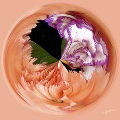 Amazing Circle - Carnations-2.  Copyright Nancy Kirkpatrick Photography