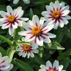 MARYLANDZINNIA 'Zahara Starlight Rose' i gruppen Ettåriga blomsterväxter hos Impecta Fröhandel (8849)