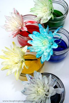 Flowers absorbing coloured water for science activity. Science experiment with colour changing flowers - Laughing Kids Learn Science Activities For Toddlers, Easy Science Experiments, Creative Activities, Science For Kids, Infant Activities, Puppets For Kids, Outdoor Games For Kids, Flower Coloring Pages, Flower Food