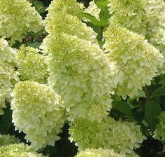 Hydrangea paniculata Magical® Candle – Plants Nouveau